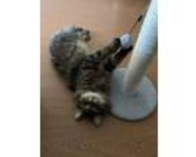 Adopt Tommy is looking for a barn cat position a Maine Coon, Domestic Long Hair