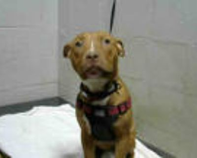 Adopt LITA a Brindle - with White American Pit Bull Terrier / Mixed dog in