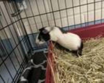 Adopt Lenny a Guinea Pig