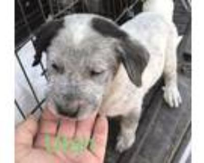 Adopt Utah a Australian Cattle Dog / Blue Heeler