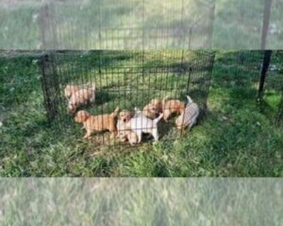 GOLDEN RETRIEVERS AVAILABLE MID AUGUST