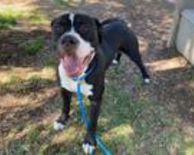 Adopt *ROKY a Black - with White American Pit Bull Terrier / Mixed dog in San