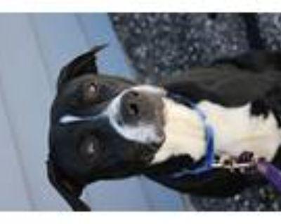 Diesel, American Pit Bull Terrier For Adoption In Cheyenne, Wyoming