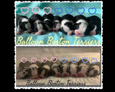 Balloun Boston Terriers