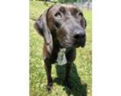 Tarra, Labrador Retriever For Adoption In Belmont, New York