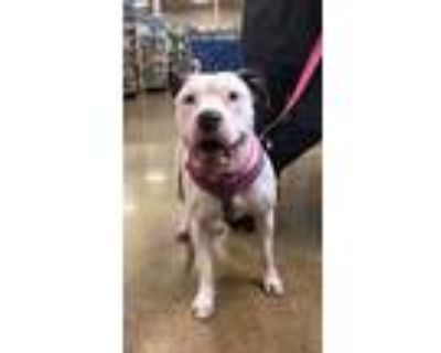 Adopt Nala a White - with Black American Pit Bull Terrier / Mixed dog in