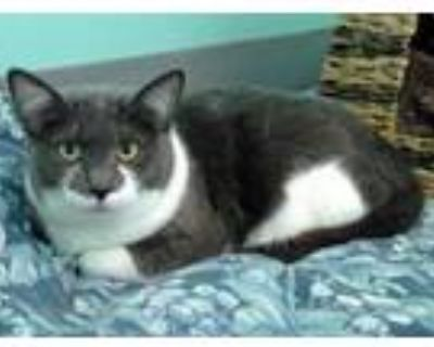 Adopt Bluff a Gray or Blue Domestic Shorthair / Domestic Shorthair / Mixed cat
