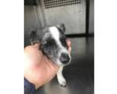 Adopt ADOPTED a White Dachshund / Mixed dog in Fort Worth, TX (31577503)