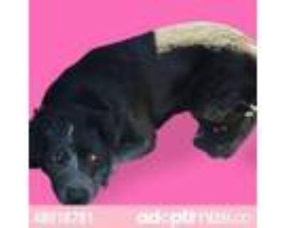 Adopt 48019781 a Australian Cattle Dog / Blue Heeler, Mixed Breed