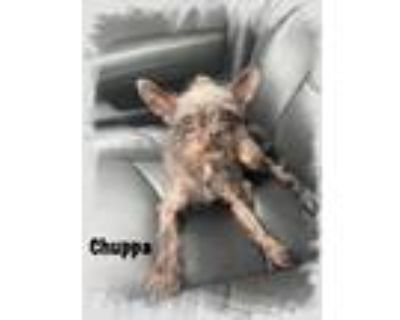 Adopt Chuppa a Brown/Chocolate - with Tan Brussels Griffon / Terrier (Unknown
