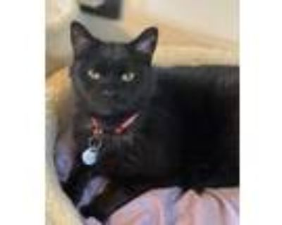 Adopt Luther (Adoption Fee Sponsored) a Domestic Short Hair