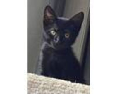 Adopt Cupcake is crazy cute!! BLACK KITTEN SPECIAL WEEK!! a Bombay