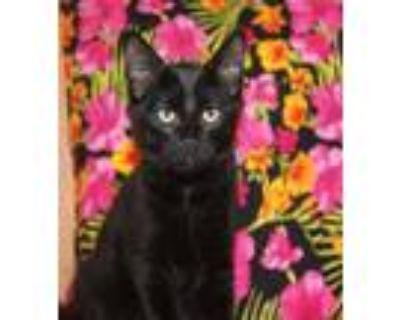Adopt *MAUI a All Black Domestic Mediumhair / Mixed (medium coat) cat in