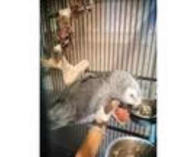 My 8 Months Powerful And Well Behave African Grey Parrot Available Now