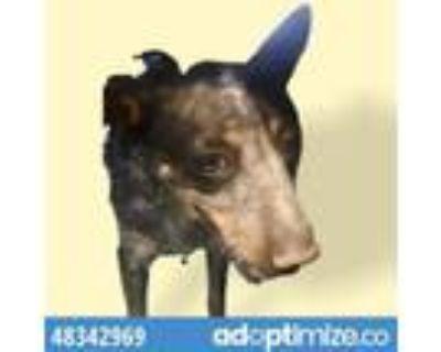 Adopt 48342969 a Australian Cattle Dog / Blue Heeler, Mixed Breed