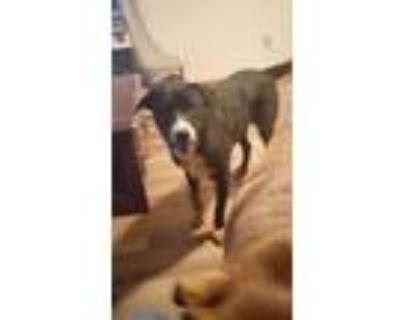 Adopt Lucky a Black - with White Husky / Labrador Retriever / Mixed dog in