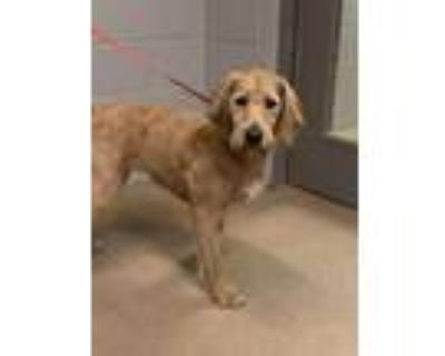 Adopt Shirley Temple* a Tan/Yellow/Fawn Terrier (Unknown Type