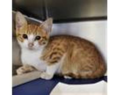 Adopt Fenley a Orange or Red Domestic Shorthair / Domestic Shorthair / Mixed cat