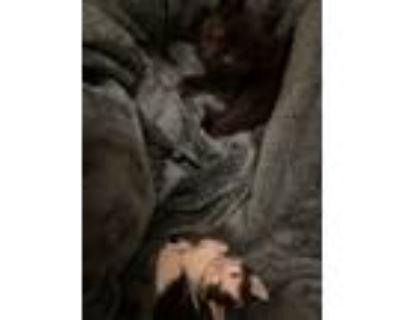 Adopt Bella and Oreo a Black (Mostly) Ocicat / Mixed (medium coat) cat in Los