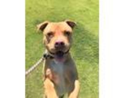Adopt Flick a Tan/Yellow/Fawn - with White American Pit Bull Terrier / Mixed dog
