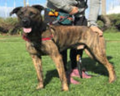 Adopt MODI a Brindle Mastiff / Mixed dog in Alameda, CA (30431059)