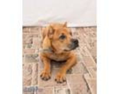 Adopt Scrappy a Tan/Yellow/Fawn Cane Corso / American Pit Bull Terrier / Mixed