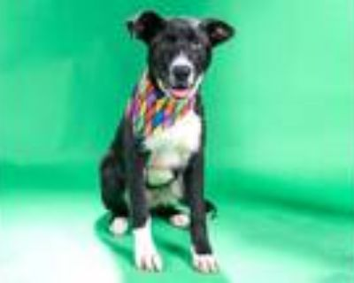 Adopt IKE a Black - with White Labrador Retriever / Mixed dog in St.