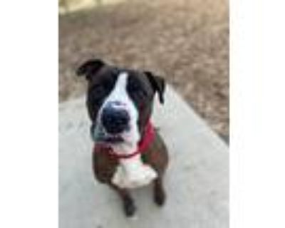 Monster Truck, American Staffordshire Terrier For Adoption In Bloomington
