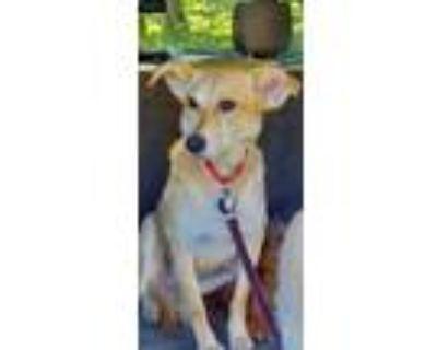 Adopt Tessa a Labrador Retriever