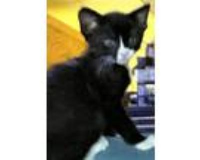 Wednesday, Domestic Shorthair For Adoption In Avon, Indiana
