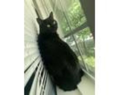 Adopt Cleo a All Black American Shorthair / Mixed (short coat) cat in Sunset