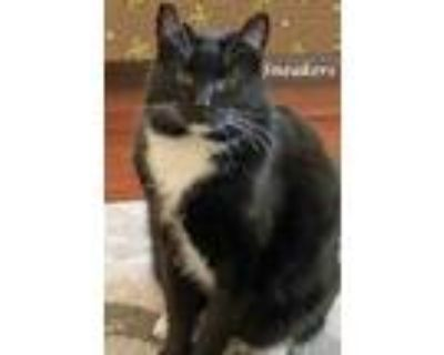 Adopt SNEAKERS a All Black Domestic Shorthair (short coat) cat in Monrovia