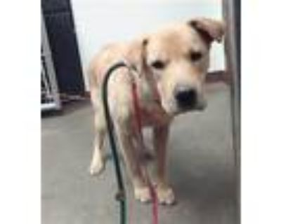 Adopt JACK a Chow Chow, Mixed Breed