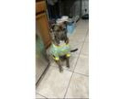 Adopt Millie Mae a Brindle American Pit Bull Terrier / American Staffordshire