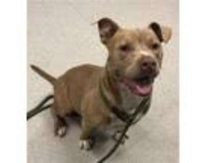 Adopt KYLIE a Staffordshire Bull Terrier