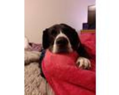 Adopt Baby a Black - with White Great Dane / Labrador Retriever / Mixed dog in