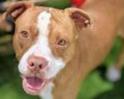 Adopt DIMAGGIO a Dogue de Bordeaux, Boxer