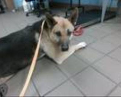 Adopt OSO a German Shepherd Dog, Mixed Breed