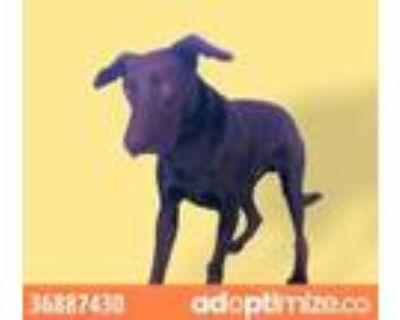 Adopt King Kong a Black Labrador Retriever / Mixed dog in El Paso, TX (31611449)