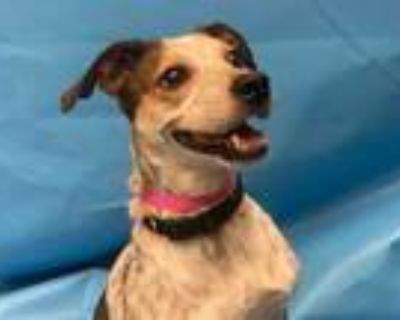 Adopt Freckles a Brown/Chocolate Beagle / Mixed dog in Woodbury, MN (32133622)