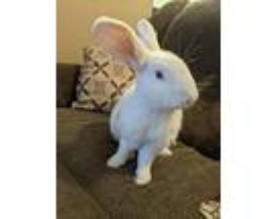 Adopt Dusty a White New Zealand / Mixed rabbit in Naples, FL (30532489)