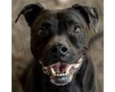 Adopt BRISKET a Black Labrador Retriever / Mixed dog in Decatur, GA (30276197)