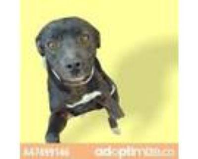Adopt 47499146 a Black Labrador Retriever / Mixed dog in El Paso, TX (31526038)