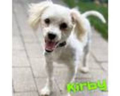 Adopt Kirby a White Poodle (Miniature) / Mixed Breed (Small) / Mixed dog in