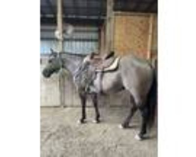 Gentle Trail Horse Deluxe, Ranch and Barrel Prospect AQHA