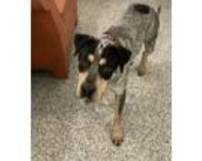 Adopt Baker a Coonhound, Australian Cattle Dog / Blue Heeler