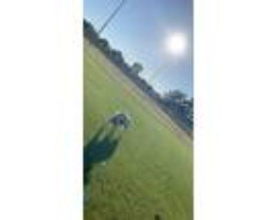 Adopt Ruggy a Tan/Yellow/Fawn Labrador Retriever / Mixed dog in Indianapolis