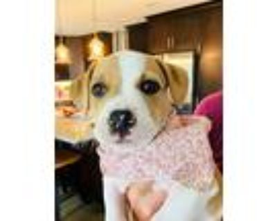 Adopt Capri a White - with Tan, Yellow or Fawn Pit Bull Terrier / Mixed Breed