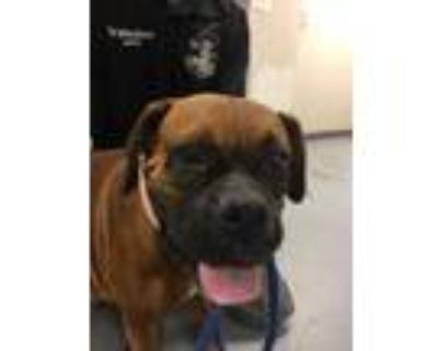 Adopt 48236805 a Brown/Chocolate Boxer / Mixed dog in Los Lunas, NM (31960169)