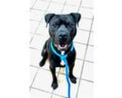 Adopt SNEAKERS a Black - with White American Pit Bull Terrier / Labrador
